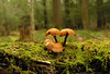 Mushrooms on moss-covered log in hemlock forest<br /> Cathedral State Park, Aurora, WV