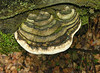 Large bracket fungus conk on decaying log<br /> Cathedral State Park, Aurora, WV
