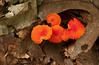 Unidentified terrestrial orange mushrooms<br /> Chapman State Park, Indian Head, MD
