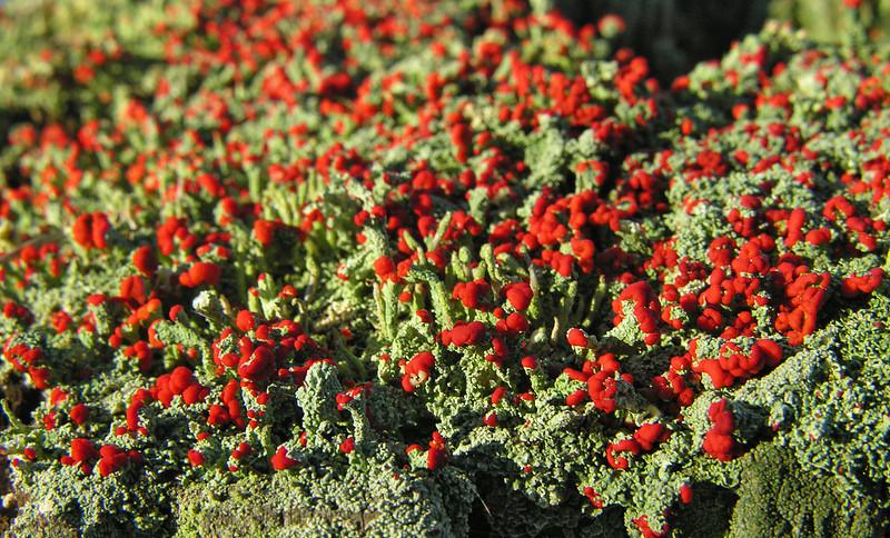 British soldiers lichen (<I>Cladonia cristatella</I>) Dyke Marsh Wildlife Preserve, Belle View, VA