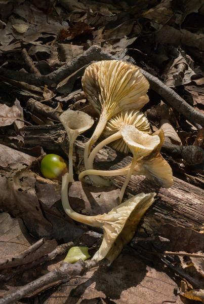 Wood loving clitocybe (<I>Gerronema strombodes</I>) Rock Creek Park, Washington, DC