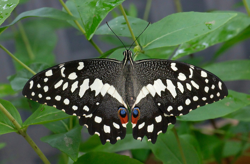 "Lime swallowtail butterfly (<I>Papilio demoleus</I>), <I>aka</I> Mariposa del Muerte <span class=""nonNative"">[non-native invasive, captive]</span> Brookside Gardens ""Wings of Fancy"" exhibit, Wheaton, MD"