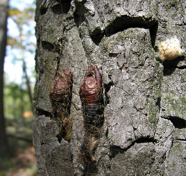 Gypsy moth egg mass &amp; pupae (<i>Lymantria dispar</i>) on chestnut oak bark Catoctin Mountain Nat'l Park, Frederick County, MD