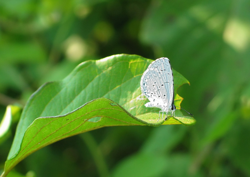 Spring azure butterfly (<I>Celastrina ladon</I>) McKee-Beshers Wildlife Mgt Area, Poolesville, MD