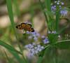 Pearl crescent (<I>Phyciodes tharos</I>) on mistflower (<I>Eupatorium coelestinum</I>) C&O Canal Nat'l Historical Park, Western Montgomery County, MD