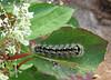 Smartweed caterpillar (<I>Acronicta oblinita</I>), larva of smeared dagger moth  Mason Neck State Park, Fairfax County, VA