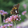 Silver-spotted skipper (<I>Epargyreus clarus</I>) Brookside Gardens, Wheaton, MD