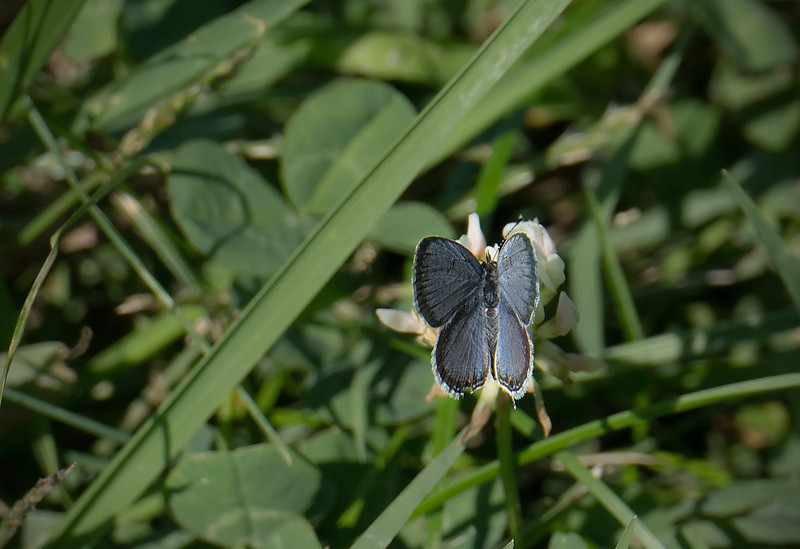 Eastern tailed blue (<I>Everes cornyntas</I>) Rock Creek Park, Washington, DC