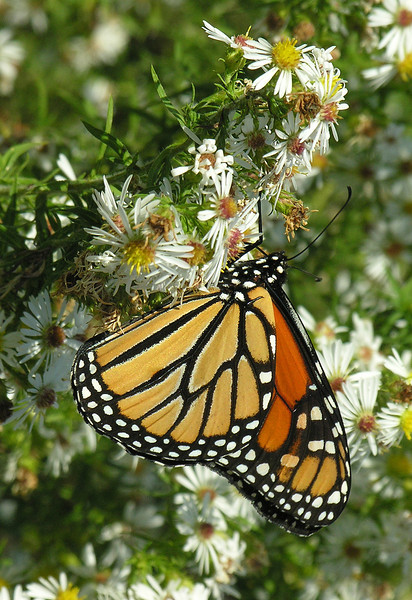 Migrating monarch nectaring on asters<br /> Eastern Neck National Wildlife Refuge, Rock Hall, MD
