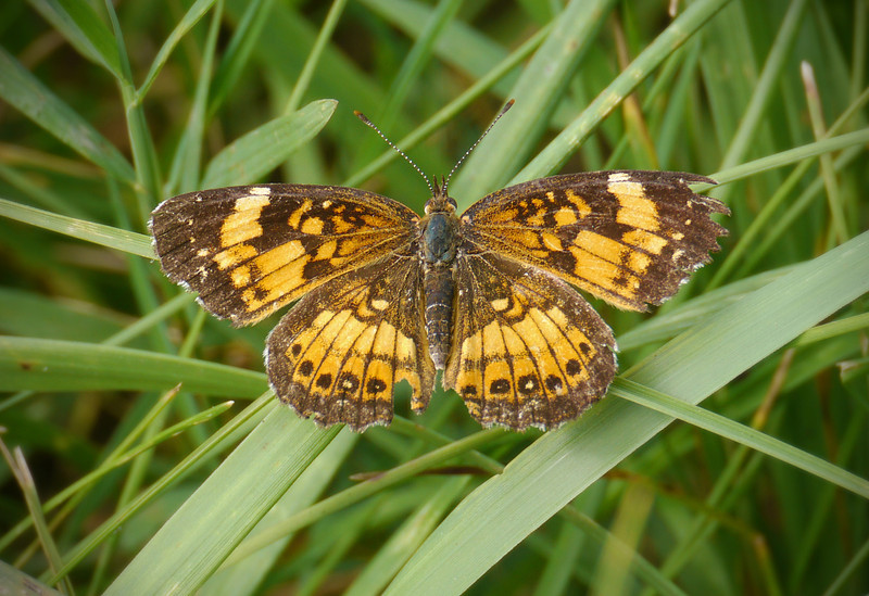 Silvery checkerspot butterfly (<I>Chlosyne nycteis</I>) in grass near host wingstem McKee-Beshers Wildlife Mgt Area, Poolesville, MD