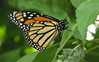 "Monarch butterfly (<I>Danaus plexippus</I>) <span class=""nonNative"">[captive]</SPAN> Brookside Gardens ""Wings of Fancy"" exhibit, Wheaton, MD"
