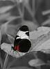 "Doris longwing butterfly (<I>Heliconius Doris</I>) <span class=""nonNative"">[non-native, captive]</span> Brookside Gardens ""Wings of Fancy"" exhibit, Wheaton, MD"