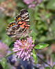 "<I>Shameless Boasting:  1st place Insects category, <A HREF=""http://news.maryland.gov/dnr/2012/09/18/annapolis-woman-wins-top-prize-in-dnr-2012-photo-contest/"" TARGET=""_blank"">2012 Maryland DNR Photo Contest</A></I>  American lady (<I>Vanessa virginiensis</I>) on red clover (<I>Trifolium pratense</I>) Frederick County, MD"