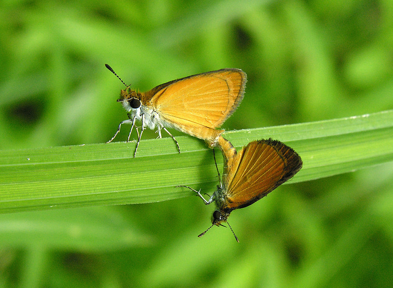 Least skippers (<I>Ancyloxypha numitor</I>) mating McKee-Beshers Wildlife Mgt Area, Poolesville, MD
