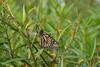 Monarch in milkweed/dogbane patch<br /> Black Hill Regional Park, Boyds, MD