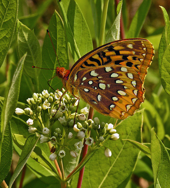 Great spangled fritillary (<I>Speyeria cybele</I>) on dogbane (<I>a.k.a.</I> Indian hemp, <I>Apocynum cannabinum</I>) Rachel Carson Conservation Park, Brookeville, MD