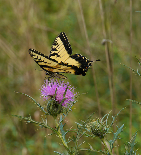 Male tiger swallowtail on field thistle (<I>Cirsium discolor</I>) Woodend Sanctuary, Chevy Chase, MD
