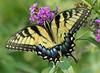 Female Eastern tiger swallowtail (<i>Papilio glaucus</i>) Brookside Gardens, Wheaton, MD
