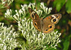 Buckeye (<I>Junonia coenia</I>) on boneset (<I>Eupatorium</I> sp.) Point Lookout State Park, Scotland, MD