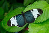 "Blue and white longwing butterfly (<I>Helioconius cydno</I>) <span class=""nonNative"">[non-native, captive]</span> Brookside Gardens ""Wings of Fancy"" exhibit, Wheaton, MD"