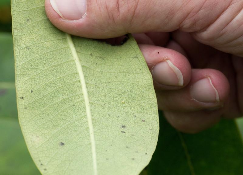 Newly-laid monarch egg on underside of milkweed leaf<br /> Black Hill Regional Park, Boyds, MD