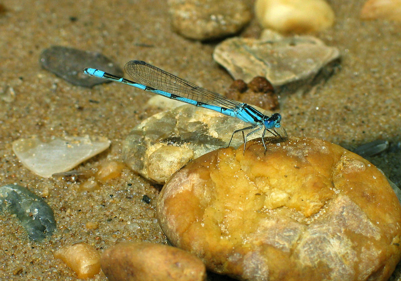 Bluet damselfly on Potomac River beach, male<br /> Purse State Park, Marbury, MD