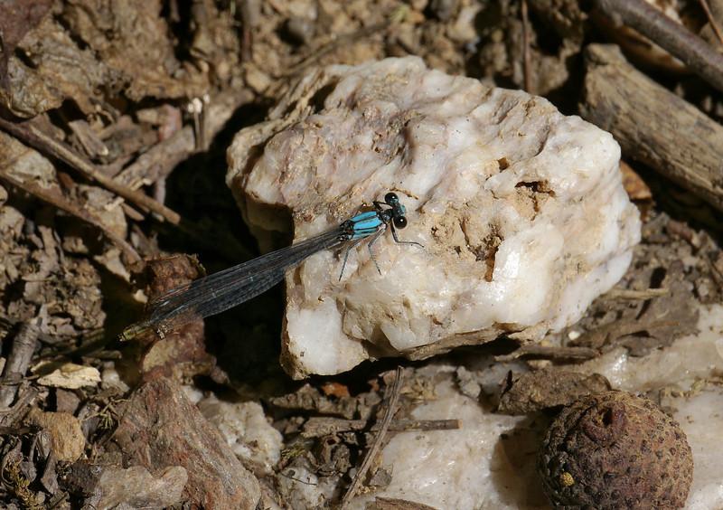 Bluet (pond damselfly) perched on milky quartz<br /> Blockhouse Point Conservation Park, Potomac, MD