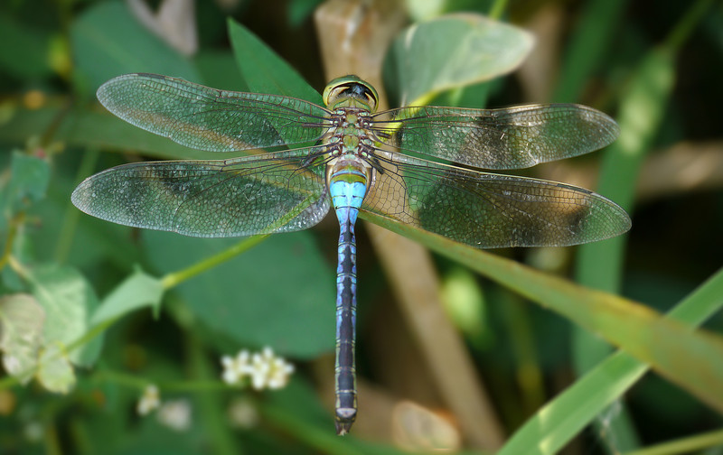 Common green darner (<I>Anax junius</I>), female Huntley Meadows Park, Alexandria, VA