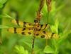 Halloween pennant dragonfly (<I>Celithemis eponina</I>), female or juvenile male Rachel Carson Conservation Park, Brookeville, MD