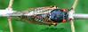 17-year periodical cicada (<i>Magicicada septendecim</i>) - 2004 Brood X My garden, Silver Spring, MD