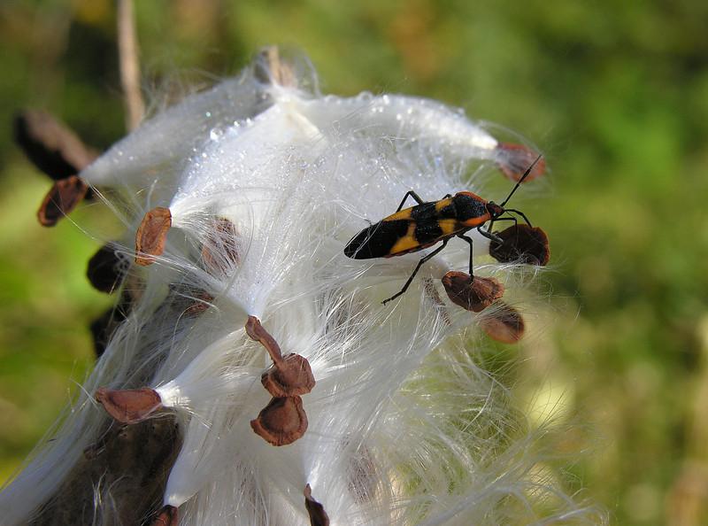 Large milkweed bug (<I>Oncopeltus fasciatus</I>) feasting on common milkweed (<I>Asclepias syriaca</I>) seeds Woodend Sanctuary, Chevy Chase, MD