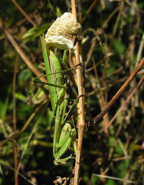 Praying mantis laying an ootheca (egg case)<br /> Wissahickon Creek, Montgomery County, PA