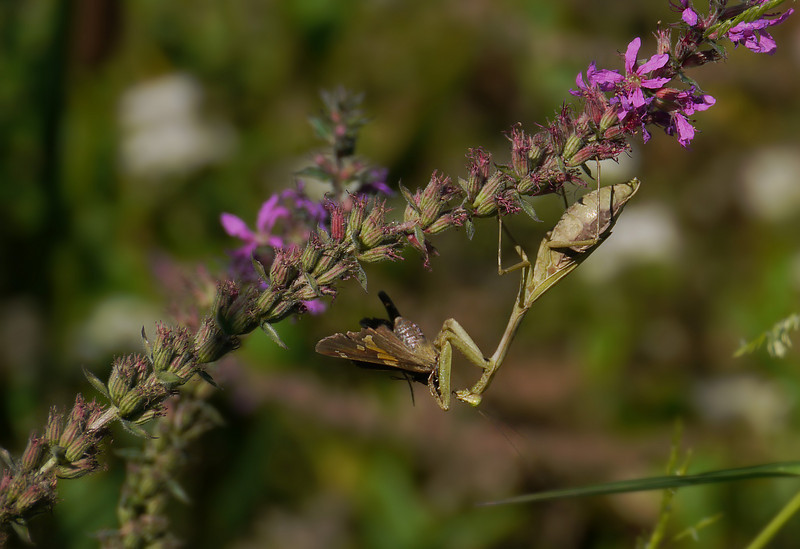Praying mantis (female Carolina?) on loosestrife wins battle with silver-spotted skipper<br /> Kenilworth Aquatic Gardens, Washington, DC