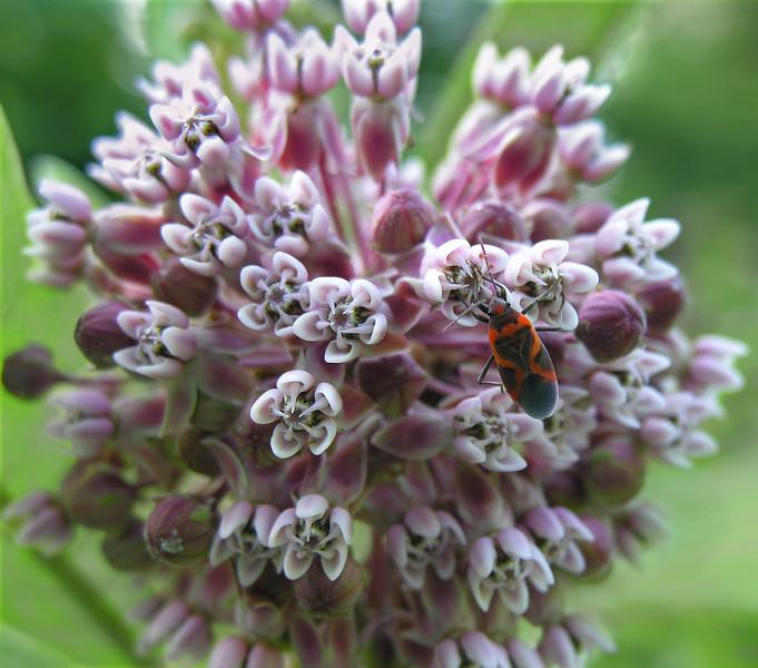 Small milkweed bug (<i>Lygaeus kalmii</i>) on common milkweed (<i>Asclepias syriaca</i>) in early summer Woodend Sanctuary, Chevy Chase, MD