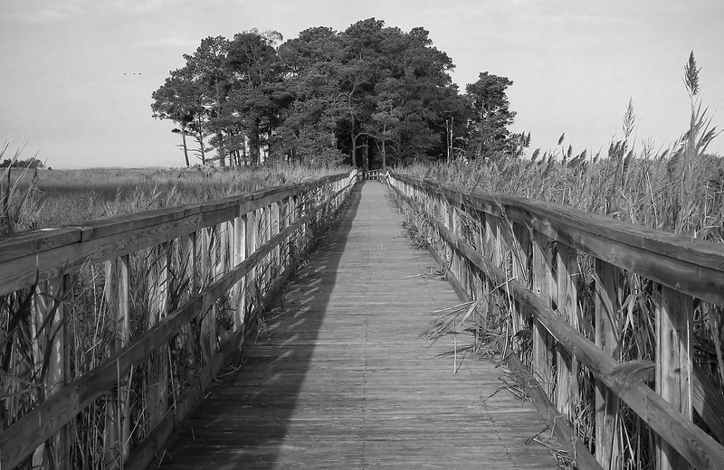 "Tubby Cove boardwalk over marsh to ""island"" of loblolly pines<br /> Eastern Neck National Wildlife Refuge, Rock Hall, MD"