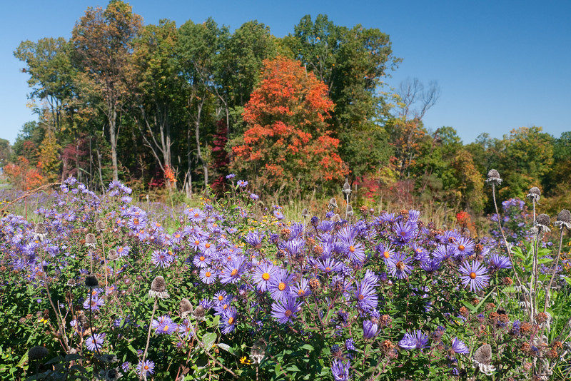 Purple asters in autumn meadow<br /> Frederick County, MD