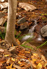 Christmas fern and fallen leaves along Cascade Run<br /> Patapsco Valley State Park, Elkridge, MD