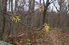 Witch hazel (<I>Hamamelis virginiana</I>) flowers Appalachian Trail, Shenandoah National Park, VA