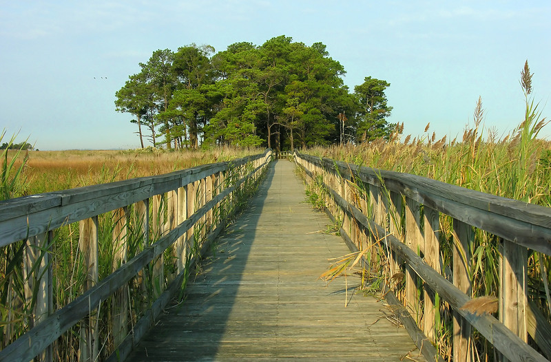 """Tubby Cove boardwalk over marsh to """"island"""" of loblolly pines<br /> Eastern Neck National Wildlife Refuge, Rock Hall, MD"""