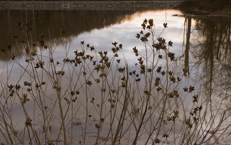Winter Weeds:  Rosemallows by Little Seneca Lake<br /> Black Hill Regional Park, Boyds, MD