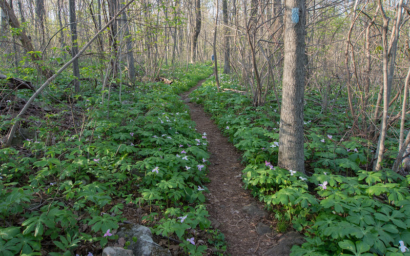 Carpet of large-flowered trillium blooming along the Appalachian Trail<br /> G. Richard Thompson Wildlife Management Area, Fauquier County, VA