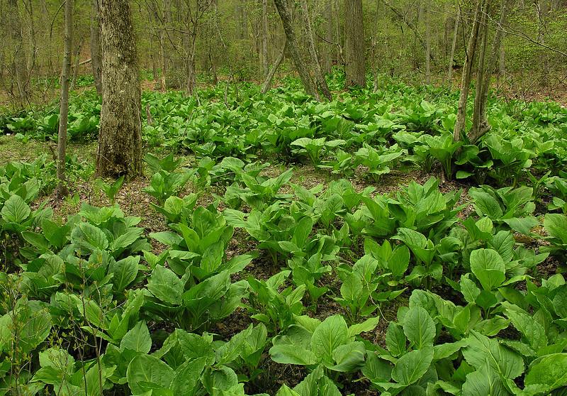 Carpet of eastern skunk cabbage (<I>Symplocarpus foetidus</I>) Rachel Carson Conservation Park, Brookeville, MD