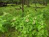 Patch of tall milkweed (<I>Asclepias phytolaccoides</I>) and ferns Shenandoah National Park, VA