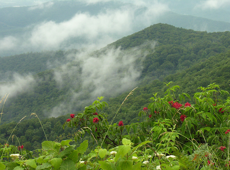 Mountain view with mountain ash berries & white snakeroot flowers<br /> Shenandoah National Park, VA