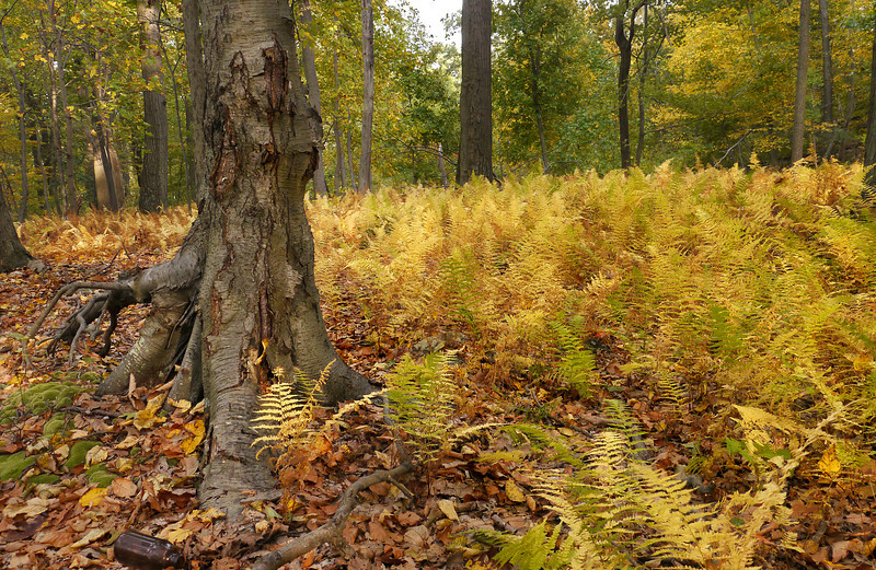 Field of broad beech ferns (<i>Phegopteris hexagonoptera</i>) Sugarloaf Mountain, Barnesville, MD