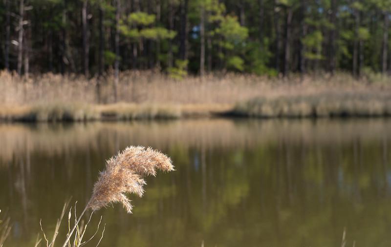 Pines & reeds (<I>Phragmites australis</I>) along Lake Conoy  Point Lookout State Park, Scotland, MD