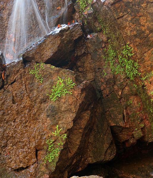 Liverworts <I>(Marchantiophyta)</I> on walls of Cascade Falls Patapsco Valley State Park, Elkridge, MD