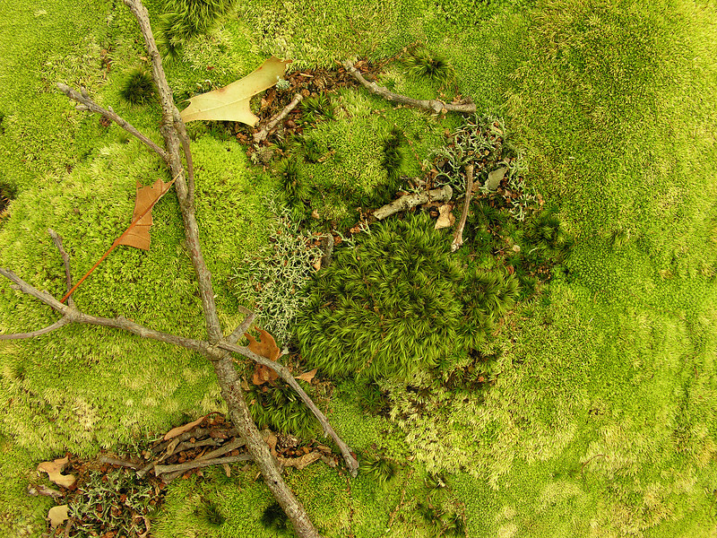 Lush mosses in the woods<br /> Catoctin Mountain Nat'l Park, Frederick County, MD