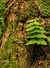 Fern and moss on tree trunk in hemlock forest in winter<br /> Cathedral State Park, Aurora, WV