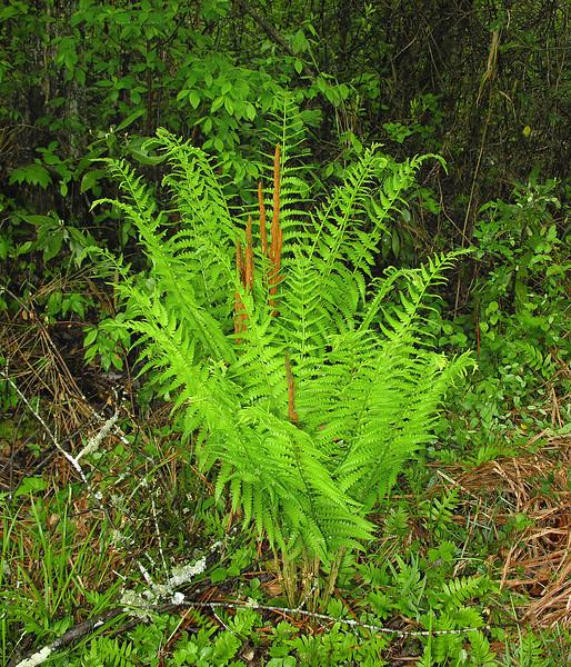 Cinnamon fern (<I>Osmundastrum cinnamomeum</I>) Great Dismal Swamp National Wildlife Refuge, near Suffolk, VA